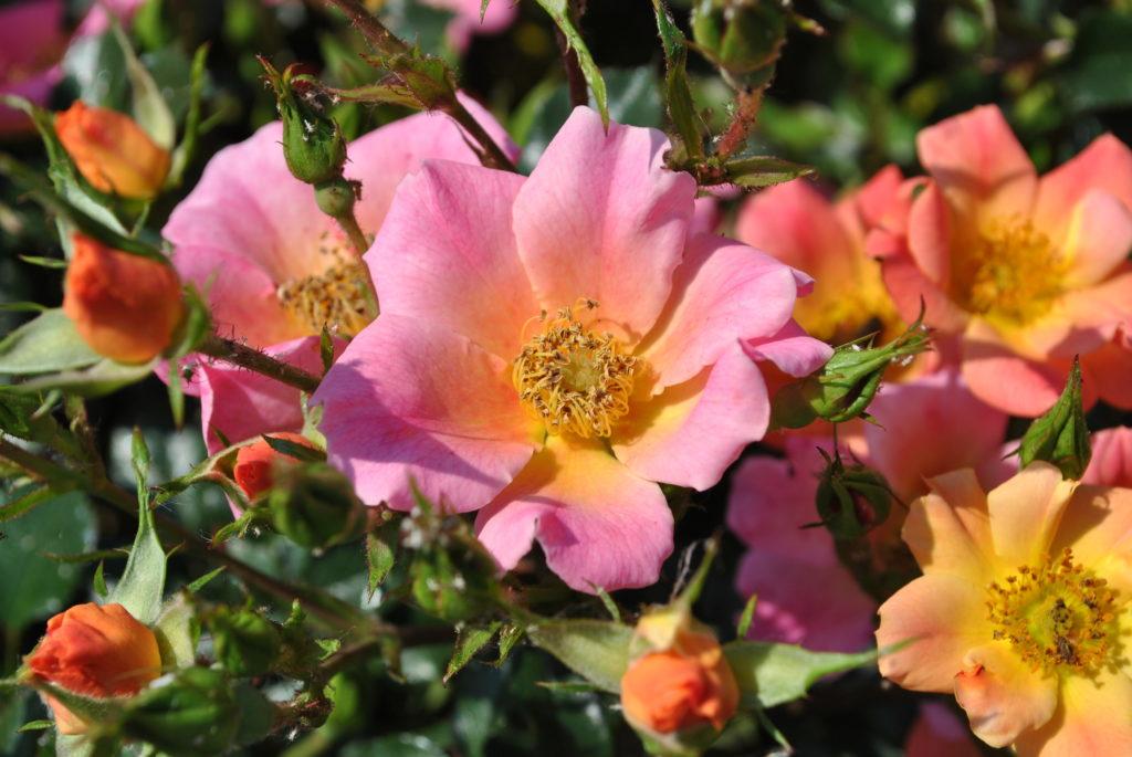 klomb ogrodowy na przykładzie róży