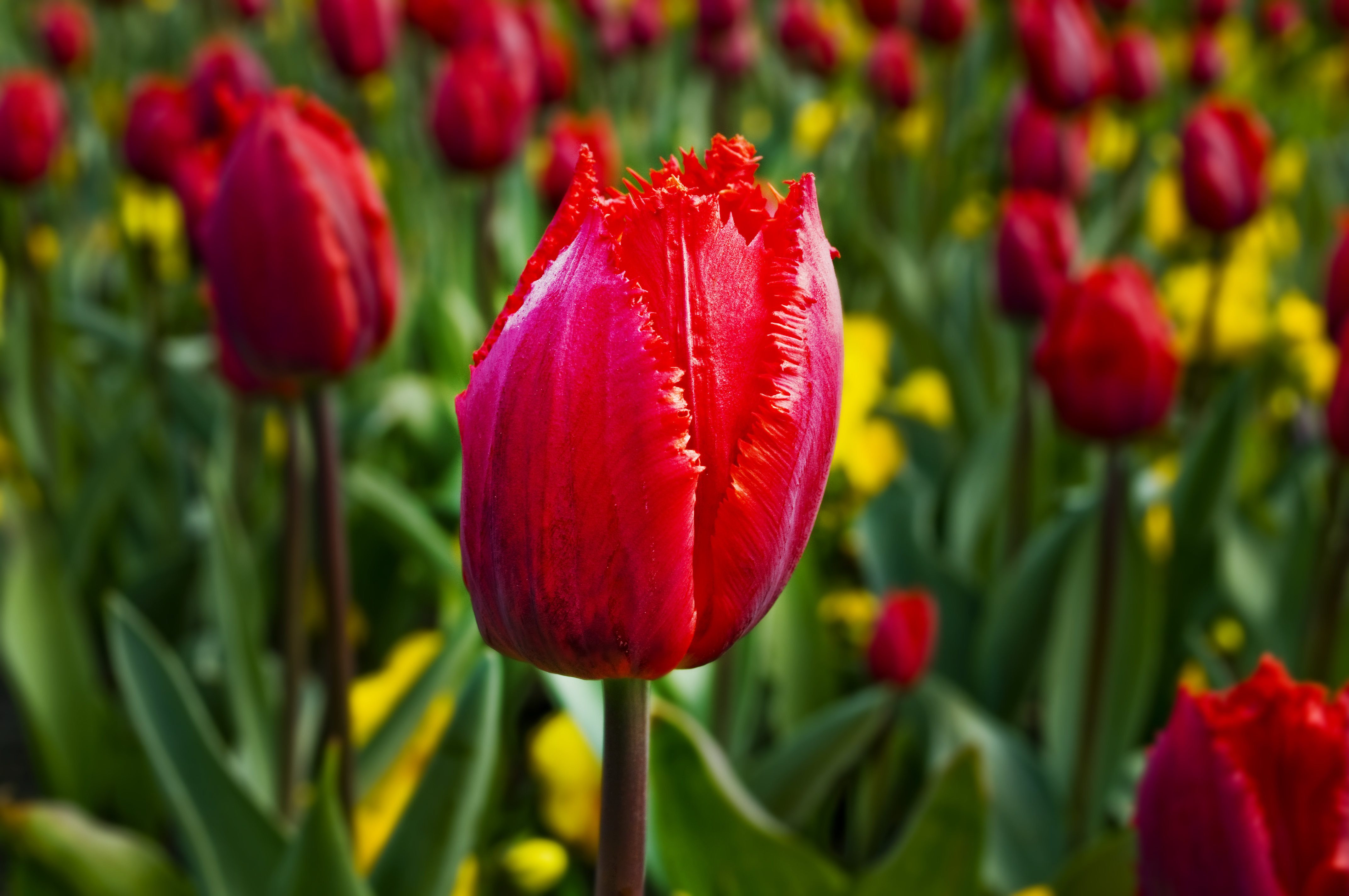 Klomb ogrodowy czyli czerwony tulipan